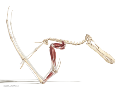 Image result for quetzalcoatlus muscles